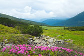 Rhododendron flowers in summer mountain — Stock Photo