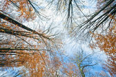Autumn sky and tree tops — Stock Photo