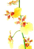 Yellow orchid flower — Stock Photo