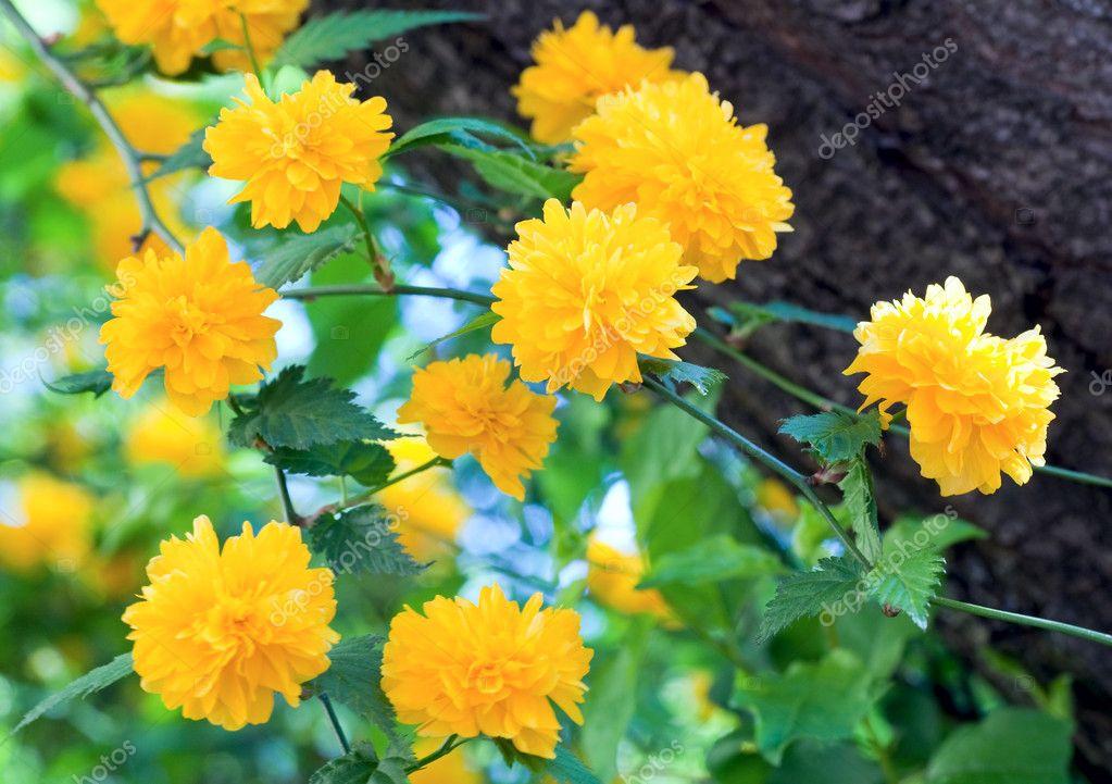 Arbuste de printemps avec fleurs jaunes photographie - Arbuste fleurs jaunes printemps ...