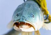 Fish in talon bird of prey — Stock Photo