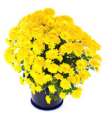 Yellow chrysanthemum in flowerpot — Stock Photo