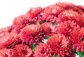 Chrysanthemum — Stock Photo