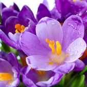 Crocus flower — Stock Photo