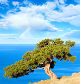 Juniper tree, sea and rainbow — Stock Photo