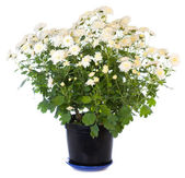 White chrysanthemum in flowerpot — Stock Photo