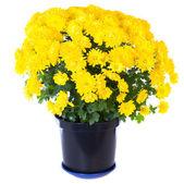 Yellow chrysanthemum in flowerpot — Stock Photo