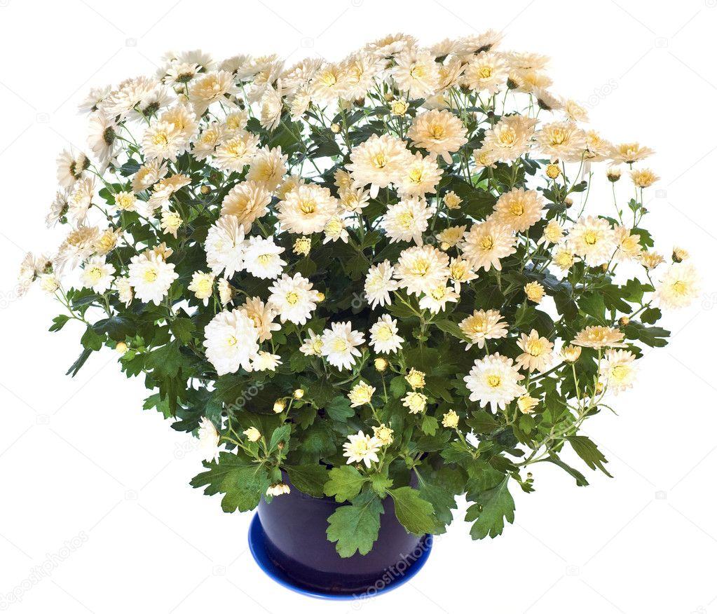 1 белая хризантема (2 сорт)