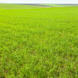 Beautiful spring wheat field — Stock Photo