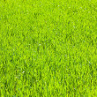 Spring green grass (nature background) - Stock Photo