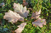Dry oak leaves with hoarfrost — Stock Photo