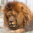 Zoo Lion - 