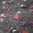 Autum Maple Leaves — Stockfoto