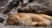 Leeuw slapen — Stockfoto