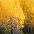 Birch trees in october — Stock Photo