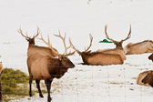 Elk Feeding — Stock Photo