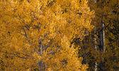 Birch trees in october — Stock Photo