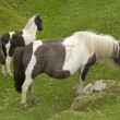 Stock Photo: Dartmoor ponies