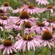 Stock Photo: Echinacea