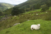 Sheep in Snowdonia — Stock Photo