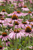 Echinacea — Photo