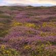 Heathland — Stock Photo