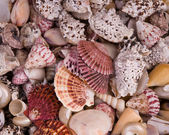 Seashells . — Stock Photo