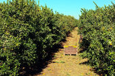 Tangerine grove. — Stock Photo