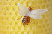 Beeswax with a bee — Stock Photo