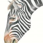 Zebra eating grass — Stock Photo #4427404