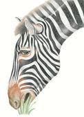 Zebra eating grass — Stock Photo