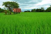 在水稻农场中的小茅屋 — 图库照片