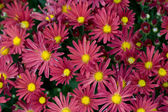 Close-up pattern of a cluster of Chrysanthemums — Stock Photo