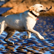 Labrador fetching a stick — Stock Photo