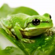 Stock Photo: Small green tree frog sitting on leaves