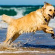 Golden retriever jumping in the water - Stock Photo
