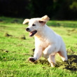 Golden retriever puppy jumping in grass — Stok Fotoğraf #4474773