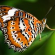 Orange Lacewing Butterfly - Stock Photo