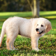 Young golden retriever staning in grass - Stock Photo