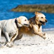 golden retriever and lagrador on the beach — Stock Photo #4474959