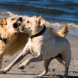 golden retriever and lagrador on the beach — Stock Photo #4474978