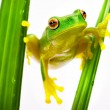 Green tree frog holding on grass - Stock Photo