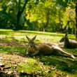 Australian cangaroos relaxing on the grass - Stock Photo
