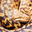 Stock Photo: Scrub Python