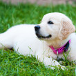 Golder retriever puppy girl resting on grass — Stock Photo