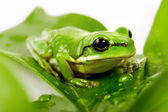 Small green tree frog sitting on the leaves — Stock Photo