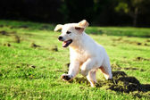 Golden retriever puppy jumping in the grass — Stock Photo