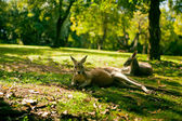Australian cangaroos relaxing on the grass — Stock Photo