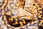 Scrub Python — Stock Photo