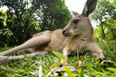 Young kangaroo lying down in the grass — Stock Photo